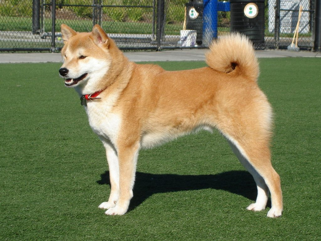 shiba Inu comes in one of the quietest dog breeds