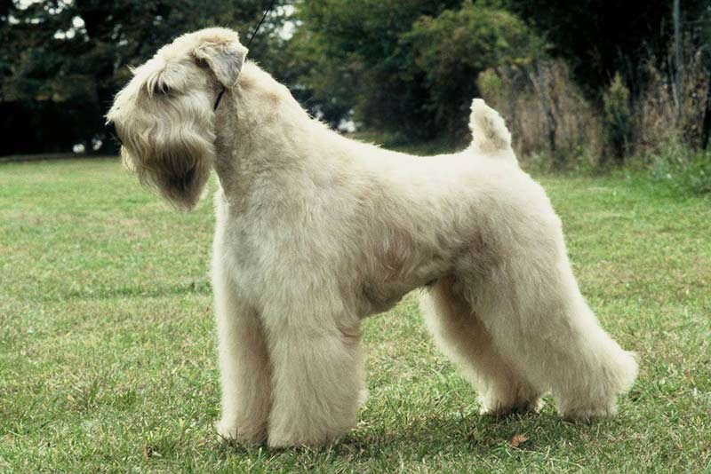 white terriers is a breed of dogs that don't bark a lot